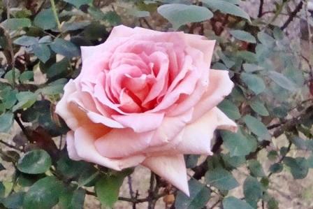 Rosa_Cristina_Bove